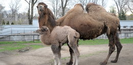 Pierwszy spacer wielbłądziczki