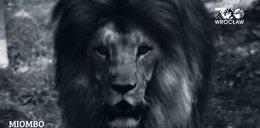 Nie żyje Miombo, lew z wrocławskiego zoo