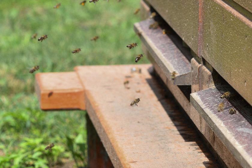 Te pszczoły uleczą ludzi!