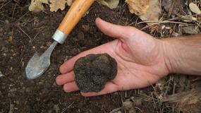 Na Białorusi znaleziono truflę rudą