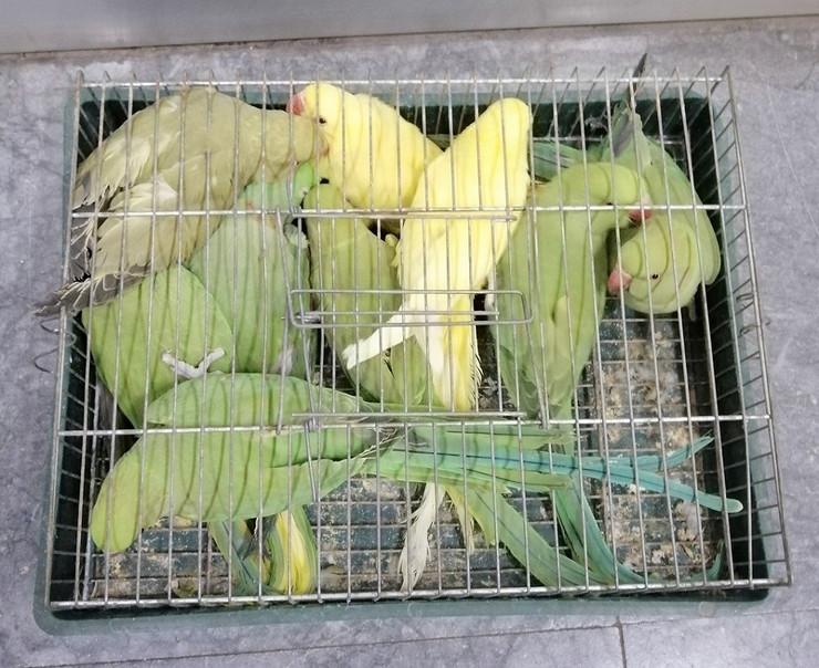 papagaji otkriveni na Srpskoj Crnji