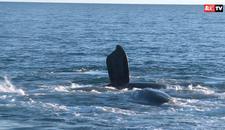 NEŽNI DŽINOVI Turizam u sezoni kitova: Oči u oči sa GRDOSIJAMA IZ DUBINA OKEANA