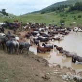 Nevjerovatna PRIČA SA KUPRESA: Konji PODIVLJALI jer su ih ljudi IZDALI (VIDEO)