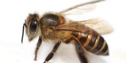 Pszczoły pokonają terrorystów! Wojsko je wytresowało