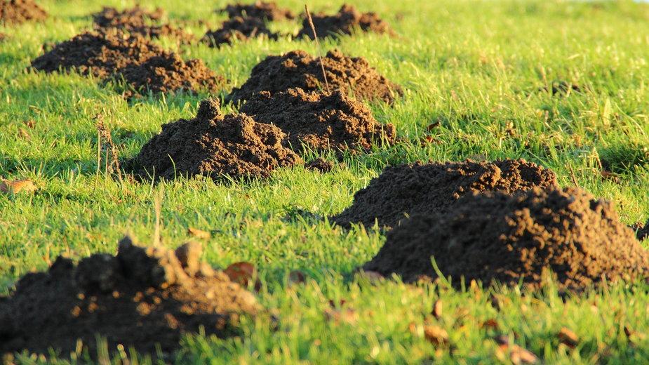 Kret może zniszczyć trawnik oraz inne rośliny w ogrodzie - meineresterampe/pixabay.com
