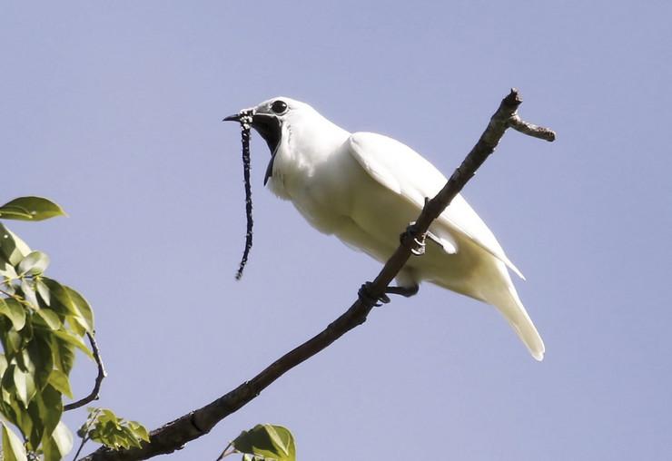 brazilska bela ptica Procnias albus