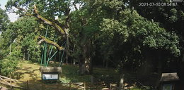 Nawałnica nie oszczędziła 700-letniego Dębu Bartek. To poważne uszkodzenia