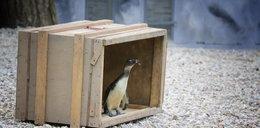 Pingwinia rodzinka zamieszkała w zoo w Łodzi