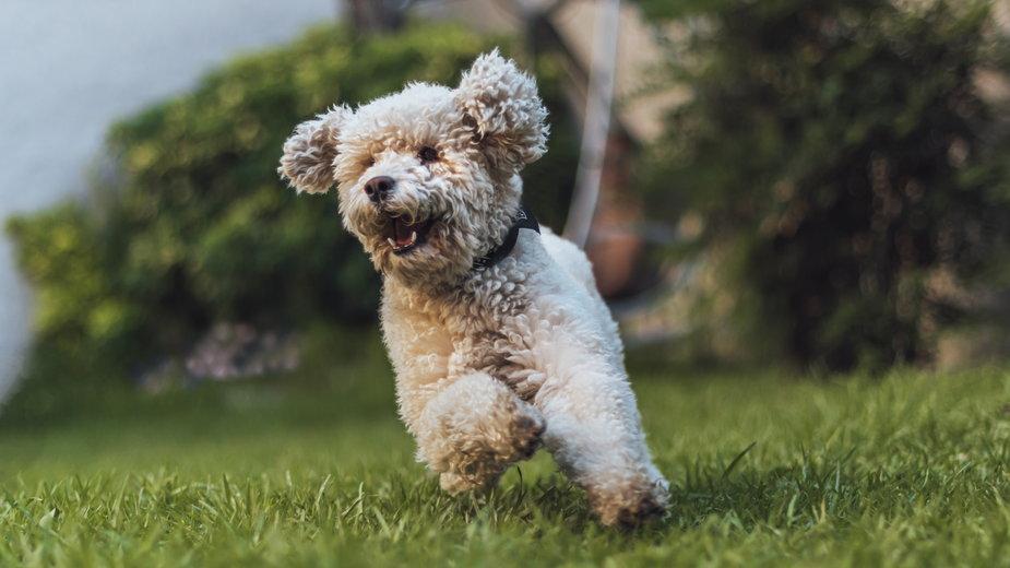 Pudel toy to doskonały pies do towarzystwa - Fabian/stock.adobe.com