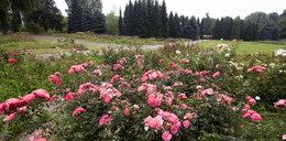 Rosarium w parku Śląskim cieszy oko