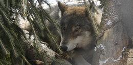 Zakochane wilki odzyskały wolność