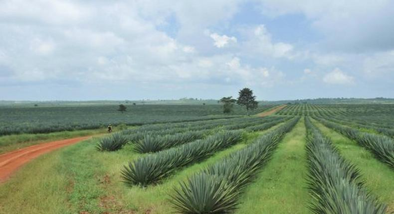 A Sisal Plantation In Tanzania. (TripAdvisor)