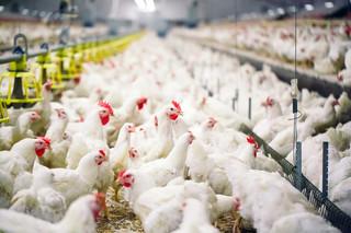 Ognisko ptasiej grypy. W Wielkopolsce wybito stado liczące około 24 tys. kur