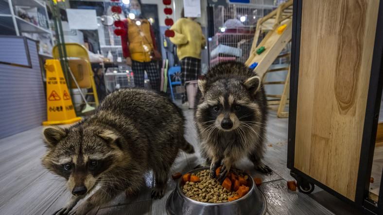 Szopy pracze z kawiarni Raccoon Cafe w Szanghaju.