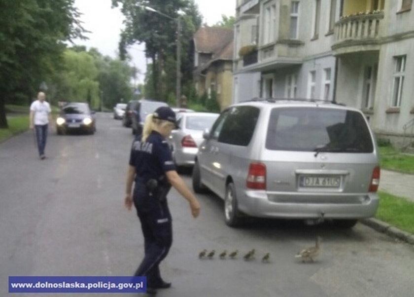 Policjanci w Jaworze uratowali kaczą rodzinę