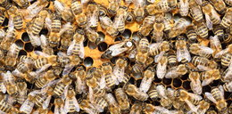 Wściekły atak pszczół na spacerowiczów. 70-latek walczy o życie