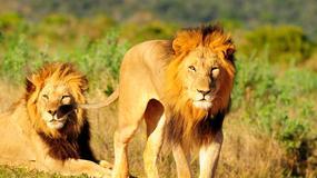 Lwy pożarły kłusowników. W rezerwacie znaleziono ludzkie szczątki