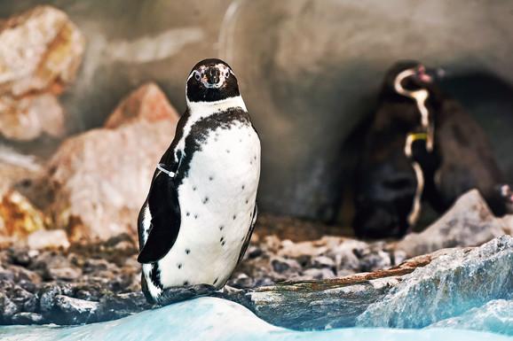 Humboltovi pingvini uživaju u toplim danima