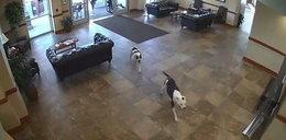 Do szpitala weszły dwa pitbulle. To, co działo się dalej, szokuje