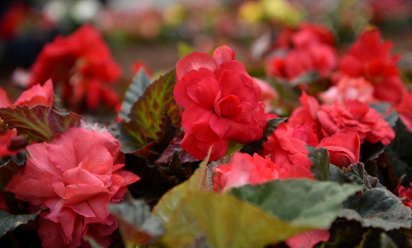Sadzą kwiaty przed urzędem miasta
