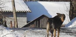 Czarnorzeka: W tej wsi rządzi dziki pies!