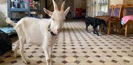 Koza zaszlachtowana w azylu dla zwierząt! Nie było w Polsce takiej rzezi