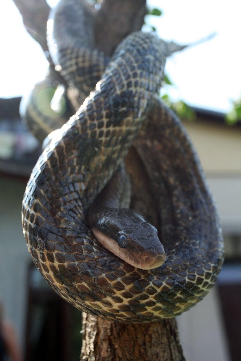 Wąż opleciony wokół gałęzi