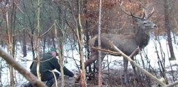 Jeleń wpadł we wnyki kłusowników. Męczył się 5 dni