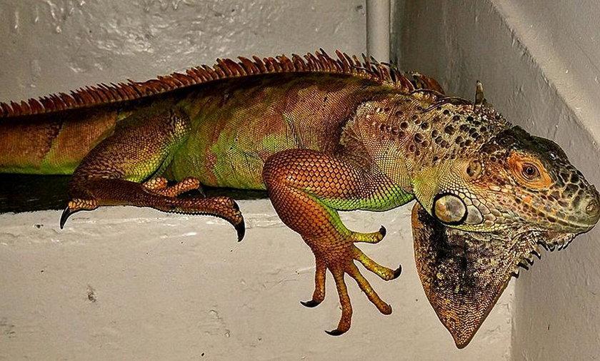 """""""Krokodyl"""" biegał po podwarszawskich ulicach"""