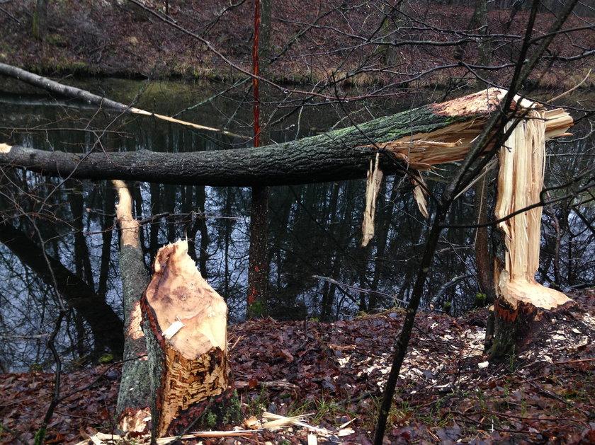 Takie szkody to codzienność pozostawiona przez bobry na Warmii i Mazurach. Tylko w rolnictwie straty  w ubiegłym roku przekroczyły 4 miliony złotych. Straty w hydrologii i leśnictwie są nieocenione!