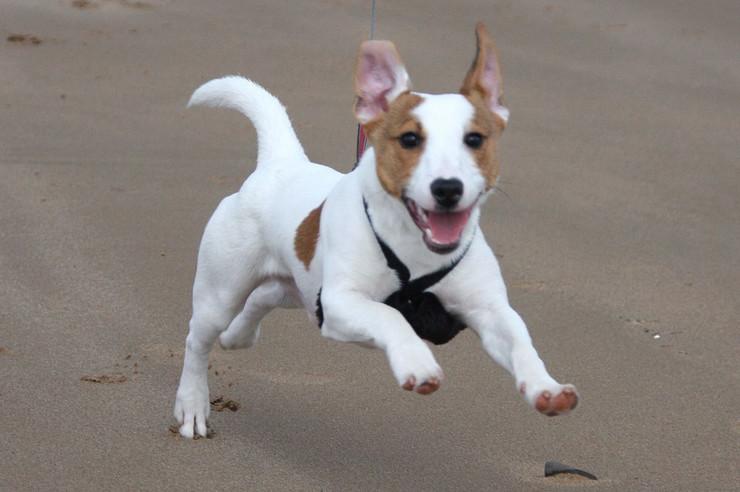 džek rasel terijer, pas, kuca, sreća