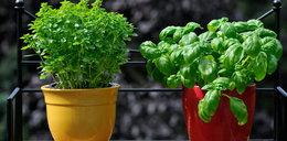 Hodujesz zioła? Zrób z nich orzeźwiające kosmetyki