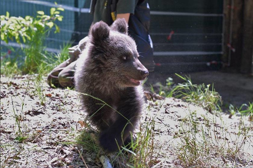Mała niedźwiedzica Cisna już na wybiegu zoo