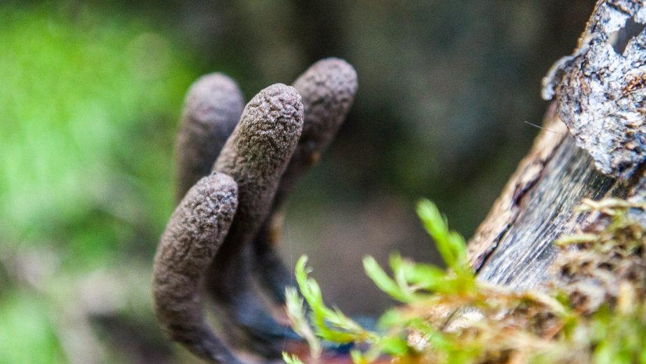 """""""Palce umarlaka"""" to grzyby, które mogą przestraszyć w lesie"""