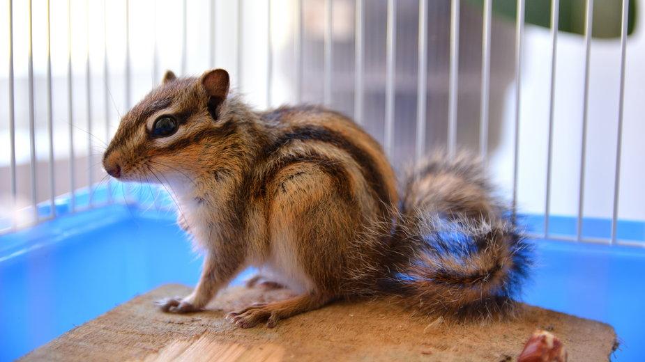 Bunduruk to wiewiórka, którą można hodować w domu - Emilija/stock.adobe.com