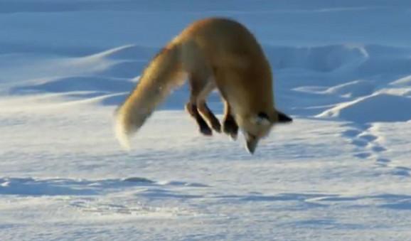 Lisici ni sneg ne smeta da nanjuši plen, Jutjub