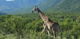 Żyrafę też można wziąć w leasing! Jak to?