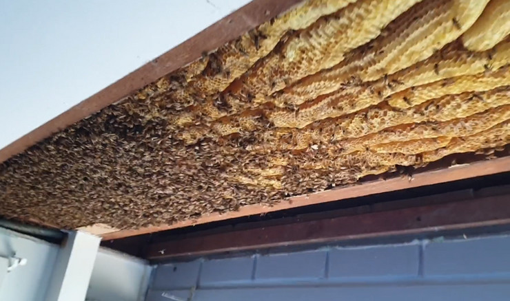 pčele Brisbane Backyard Bees