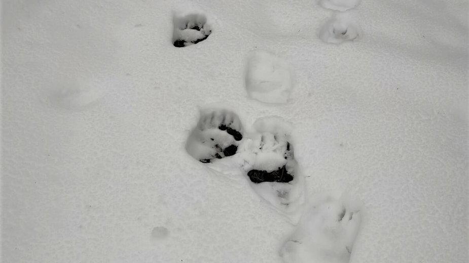 Tropy niedźwiedzia na polsko-słowackiej granicy