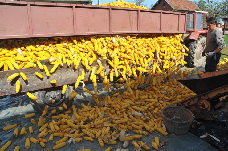 berba kukuruza bijeljina