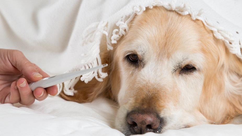 Pies z wysoką gorączką może być bardzo osłabiony - 135pixels/stock.adobe.pl