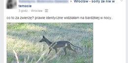 Tajemnicze zwierzę grasuje we Wrocławiu. Eksperci nie wiedzą, co to jest