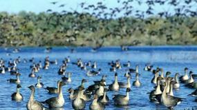 Ptaki opuszczają Ujście Warty