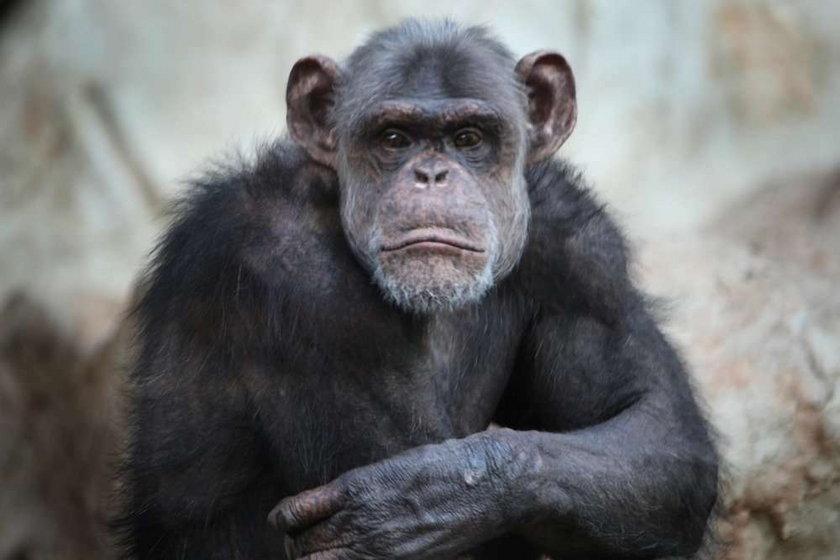 szympans,zoo, warszawski ogród zoologiczny