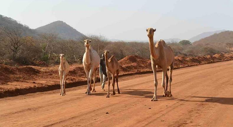 ___7095047___https:______static.pulse.com.gh___webservice___escenic___binary___7095047___2017___8___4___11___camels+in+Moyale