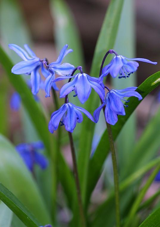 Pierwsze Wiosenne Kwiaty Byliny Rośliny Cebulowe Dom
