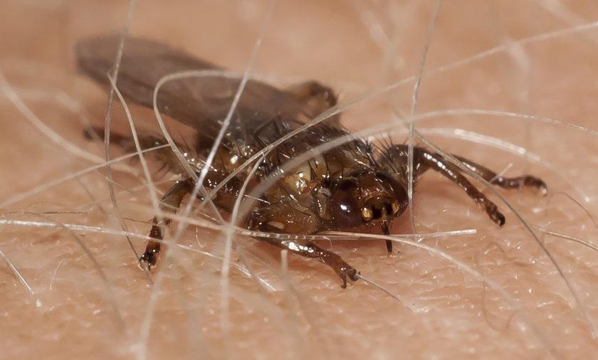 Strzyżaki atakują w lesie. Są niebezpieczne. Mogą zakazić człowieka boreliozą