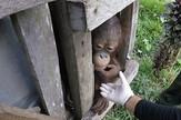 Orangutan sloboda
