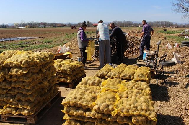 Krompir spreman za tržište