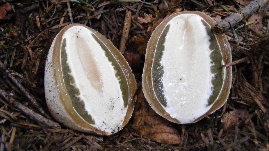 Młody owocnik sromotnika smrodliwego, tzw. czarcie jajo uchodzi za nie lada przysmak